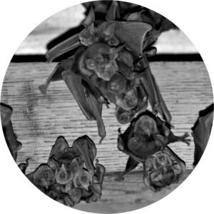 Bébé rhinolophe années 90
